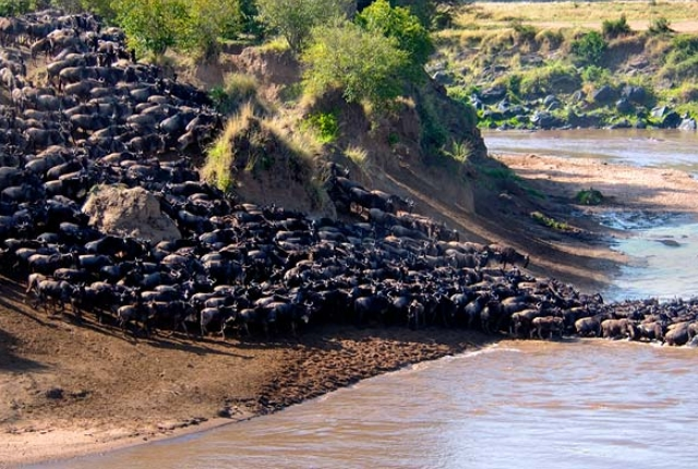 Wildebeest Migration, Masaimara And Serengheti National Parks In Kenya And Tanzania