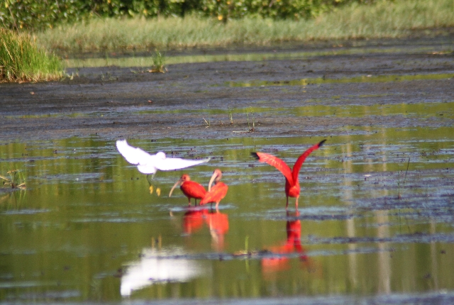 Caroni Bird Sanctuary In Trinidad