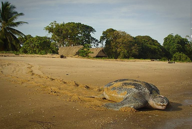Leatherback Turtles At Plages Les Hattes