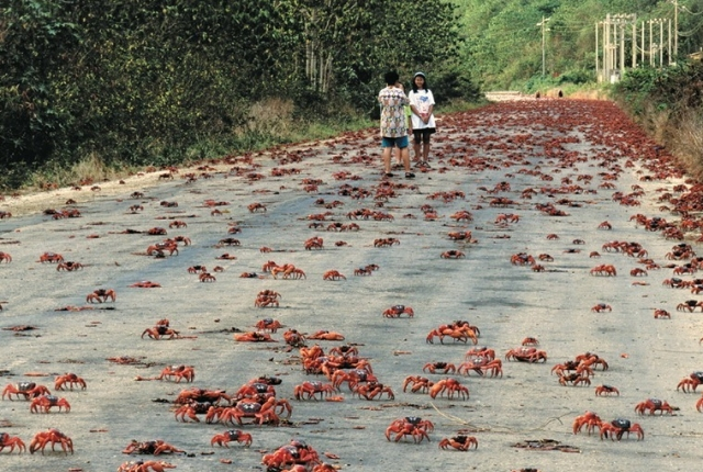 Annual Red Crab Migration