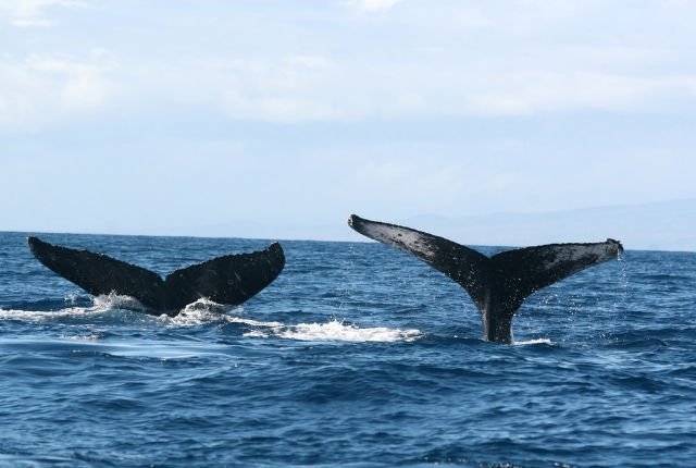 Watch Migrating Humpback Whales