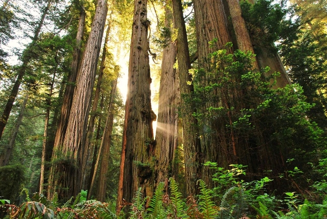 Red Wood National and State Park, California
